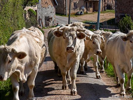Prochaine livraison de viande bovine les 16 et 17 juin 2021