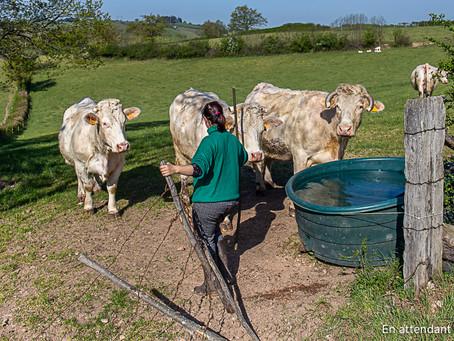 Allons voir les vaches!
