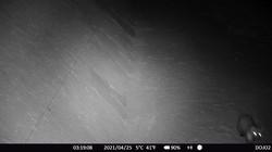 2021.04.25 Azuchi Wildkamera, Marder