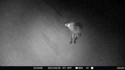 2021.04.26 Azuchi Wildkamera, Fuchs