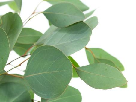 Eukalyptus - Hochzeitstrend