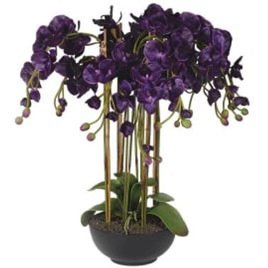 Violet orchid phalaenopsis