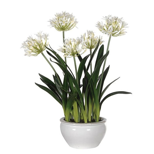 White agapanthus in white ceramic bowl