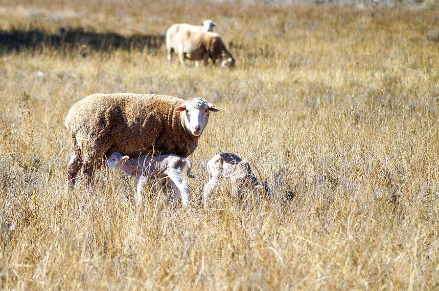 Ewe_lambs01.jpg