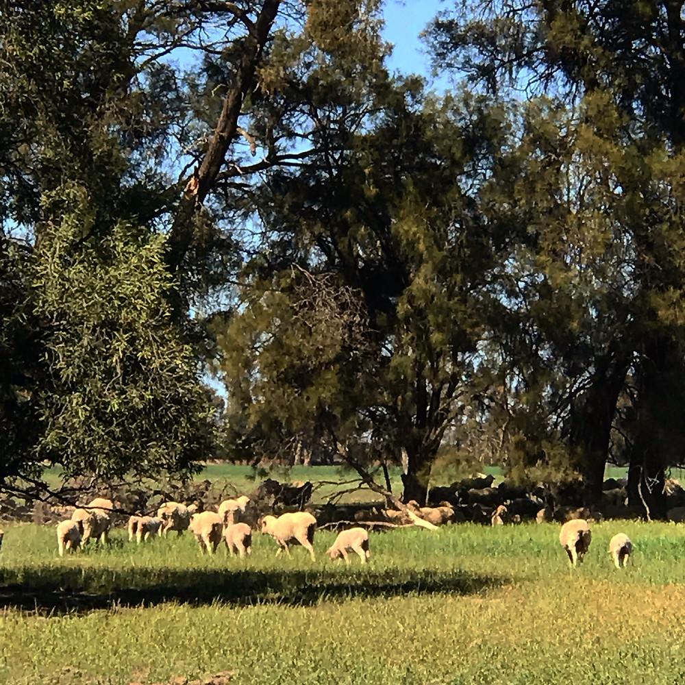 sheep grazing crops 2018