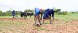 Farming with bullock ploughers