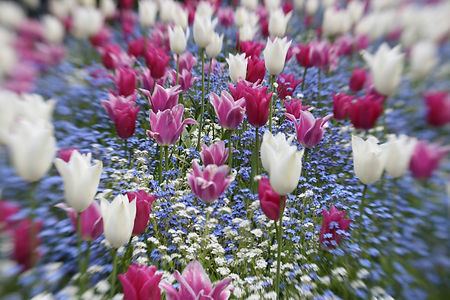 Tulips at Butchart Gardens: Image made with a selective focus lens