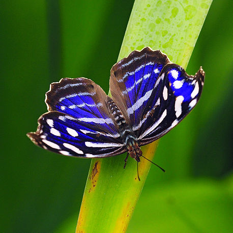 Royal Blue Butterfly, Costa Rica