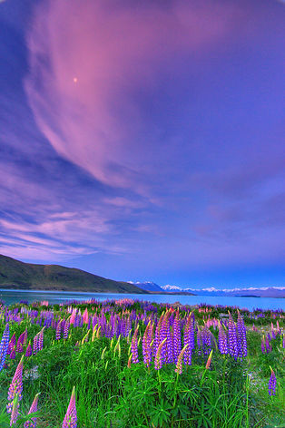 Lupines along Lake Tekapo, New Zealand
