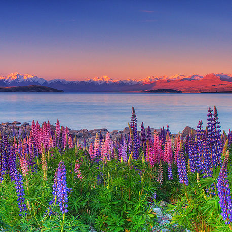 Lupines & Southern Alps at Dusk, New Zealand