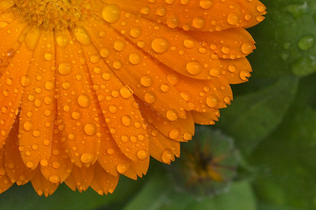 Rain drops on Calendula flower