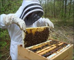 Live Italian Honey Bees & Queens