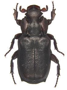 Cremastocheilus 6.jpg