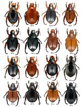 Especies de Pachystethus