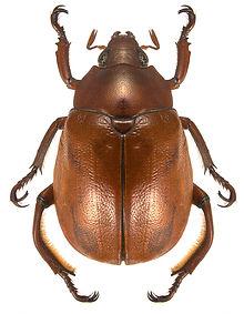 Plesiosternus punctatus.jpg