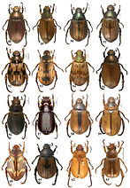 Especies de Paranomala