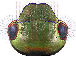 Morfometría Geométrica Cabeza, diseño de Landmarks
