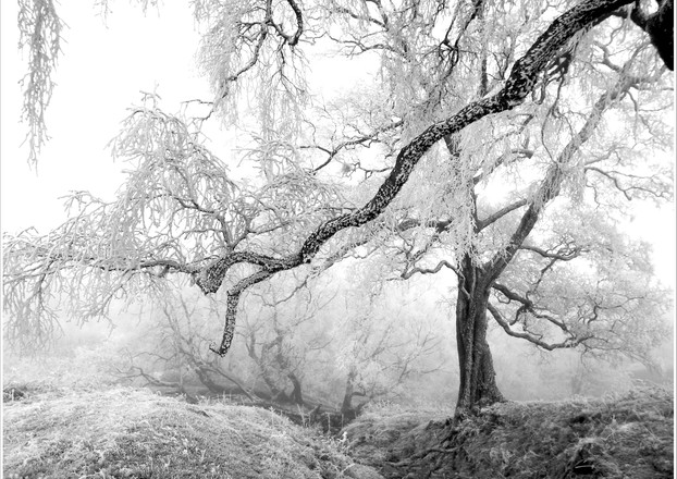 Heavy frosted tree