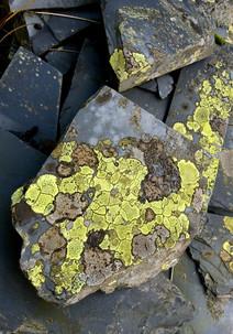 Slate lichen