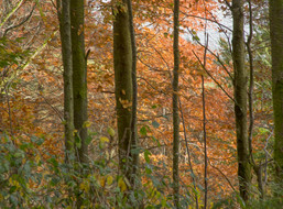 Copper woodland