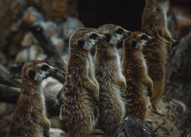 group-of-brown-meerkats-2713133.jpg
