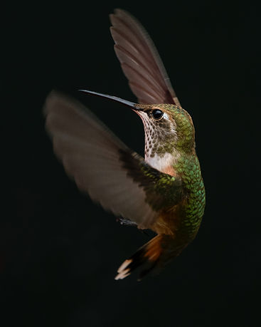 green-and-brown-hummingbird-2629373.jpg
