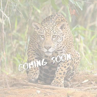 Jaguar Stalking.jpg