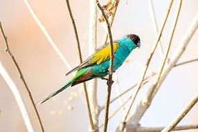 Hooded Parrot - Credit - Luke Paterson,