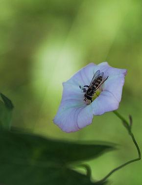 blomsterbi.jpg
