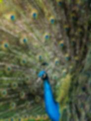 Blå påfugl.jpg