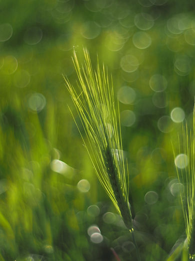 boblegræs.jpg