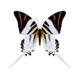Graphium Androcles Swordtail
