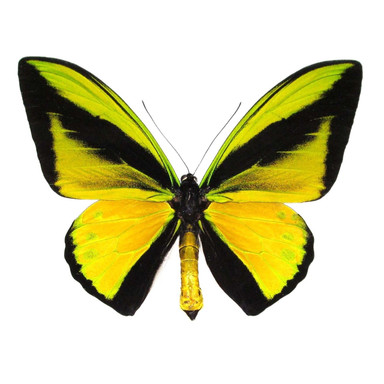 Ornithoptera Goliath Supremus Birdwing