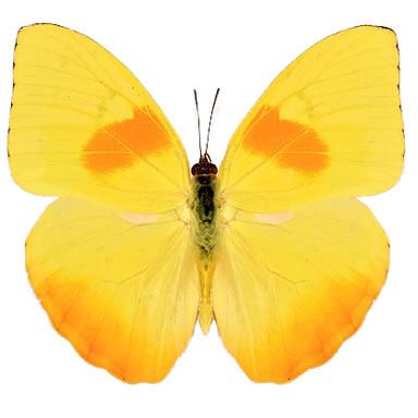 Phoebis Philea
