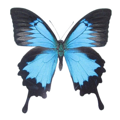 Papilio Ulysses Swallowtail