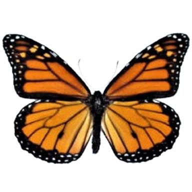 Danaus Plexippus Monarch
