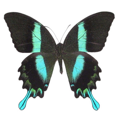 Papilio Blumei Peacock Swallowtail