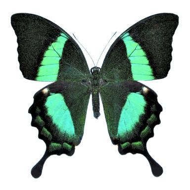 Papilio Palinurus Swallowtail