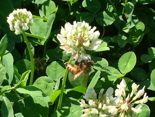 Sweet Clover Nectar