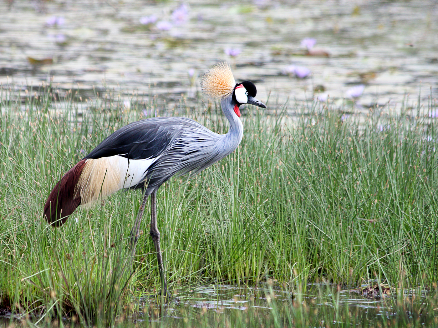great crested crane