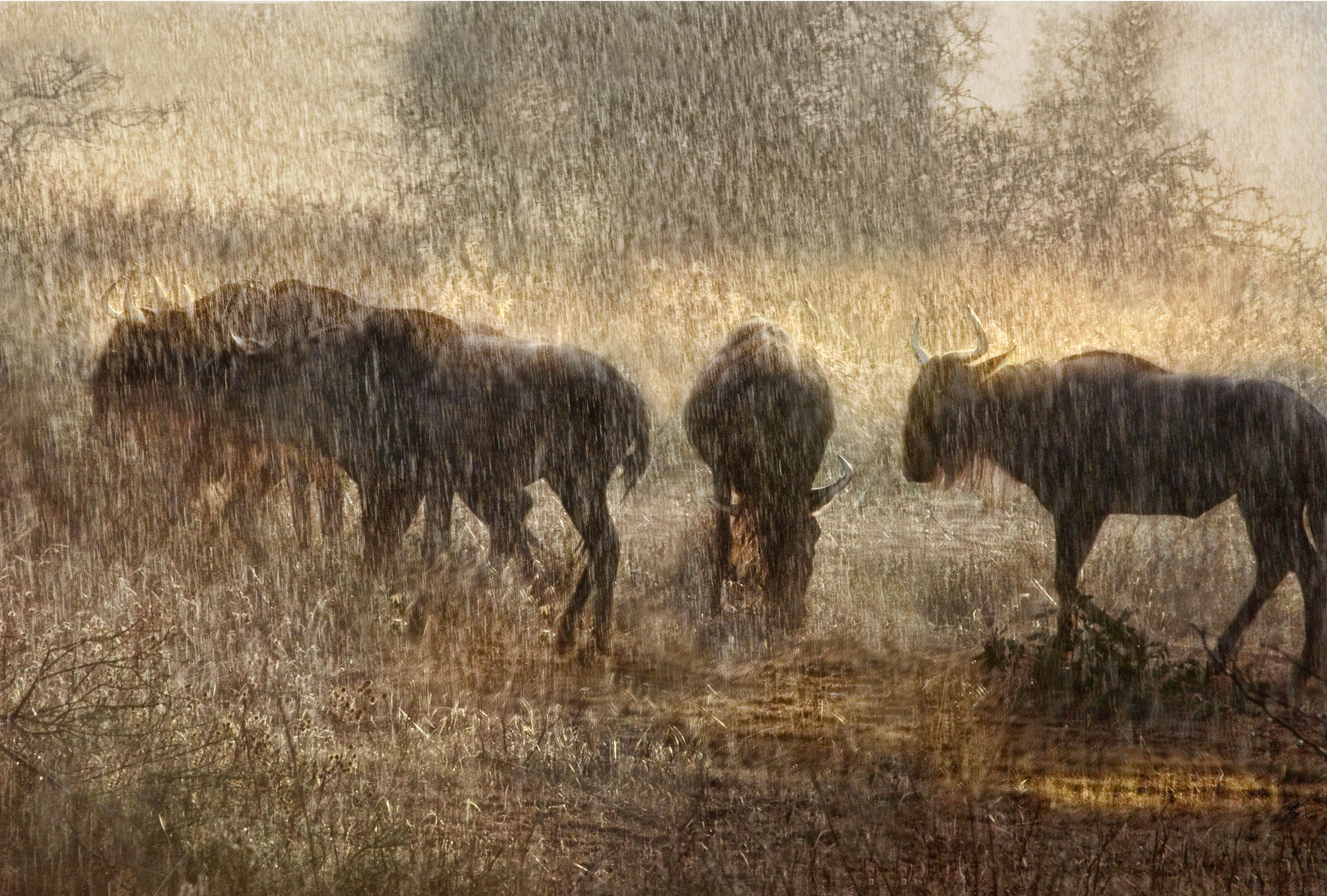 8 wildebeest in sunset shower