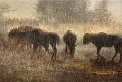 wildebeest in sunset shower