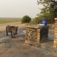 warthog in camp
