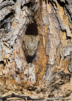 striped mouse in tree nest