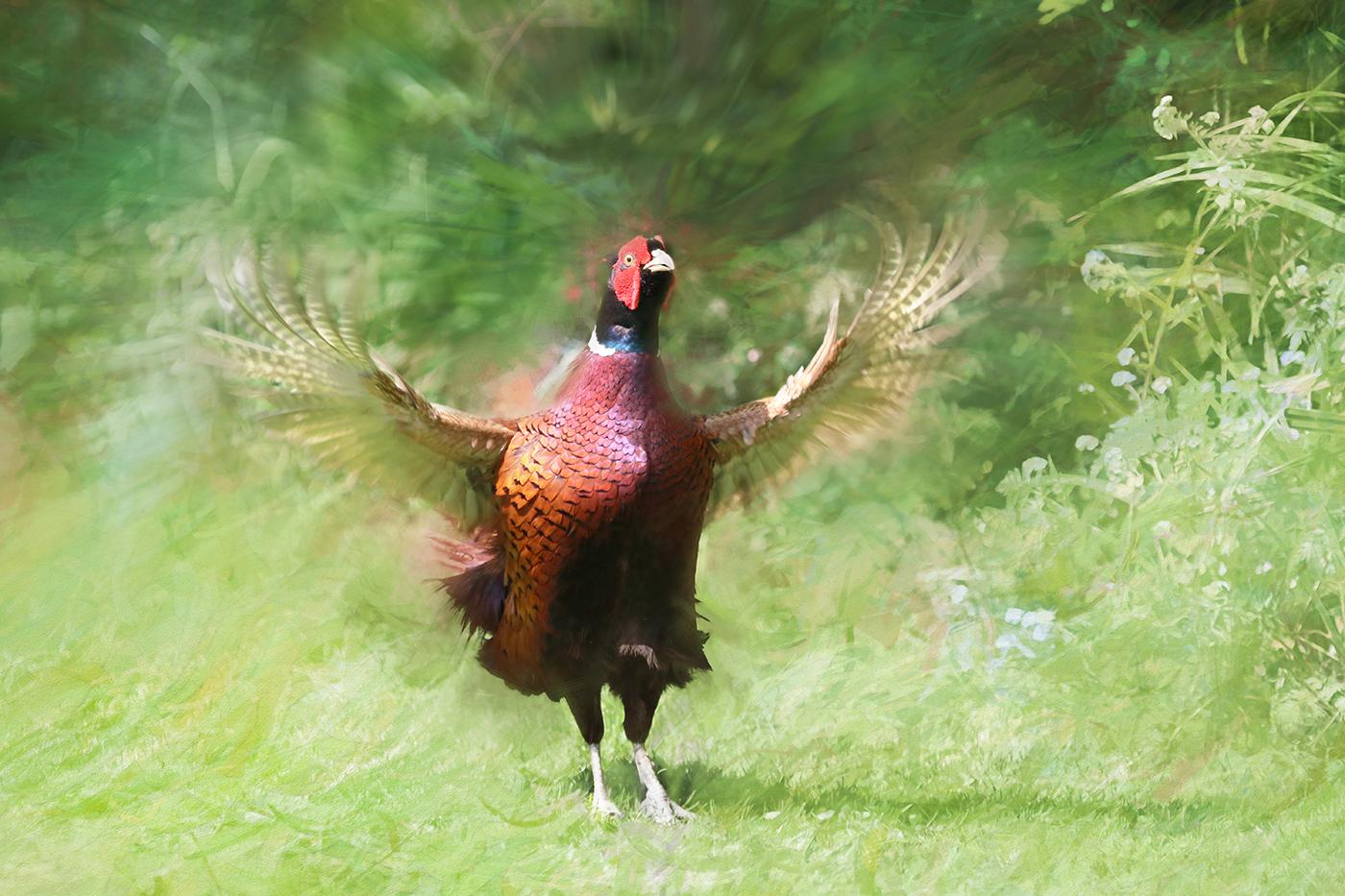 pheasant display