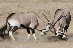 gemsbok fight