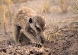 1 young meerkat foraging