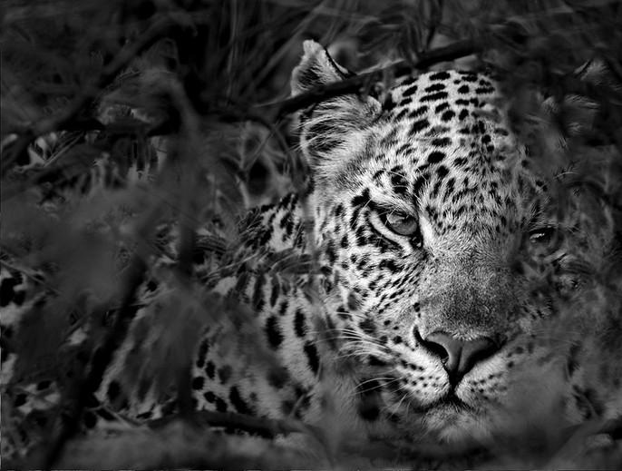 hiding leopard