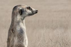 meerkat lookout duty