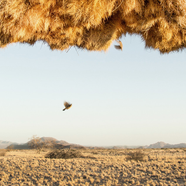 weaver bird nest in Namib desert.jpg